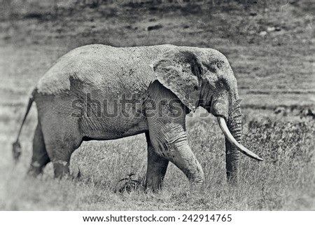 Vintage style image of a huge African elephant bull in the Ngorongoro Crater, Tanzania