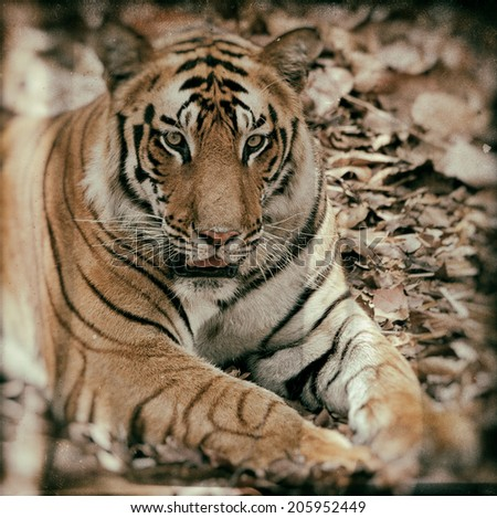 Vintage style image of a large male Bengal tiger in Bandhavgarh National Park, India - stock photo