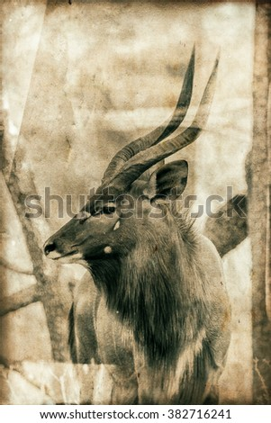 Vintage style image of a Male kudu antelope in the South Luangwa National Park, Zambia. The concentration of animals around the Luangwa River is among the most intense in Africa. - stock photo
