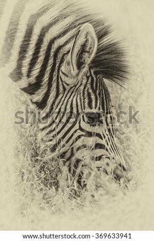 Vintage style image of a Zebra in the Hwange National Park, Zimbabwe - stock photo
