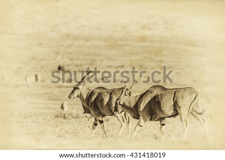 Vintage style image of huge Eland antelopes in the Ngorongoro Crater, Tanzania, East-Africa