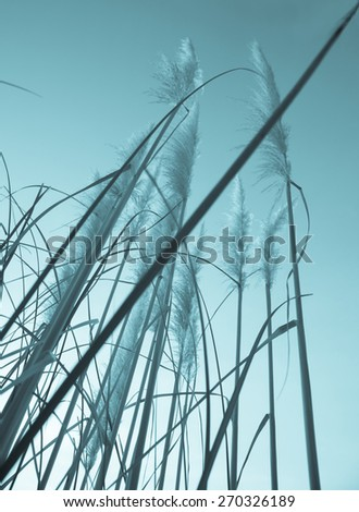 Vintage style image of pampas grass in flower, Retro effect cyanotype finish low angle with the leaf and flower spears pointing into the sky. - stock photo