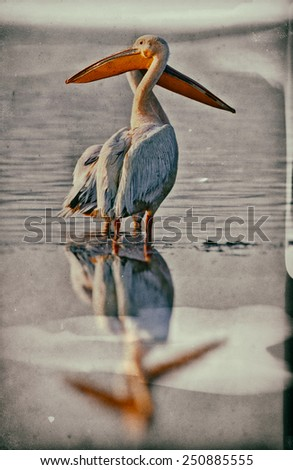 Vintage style image of White pelicans at Lake Nakuru National Park - Kenya, Africa - stock photo