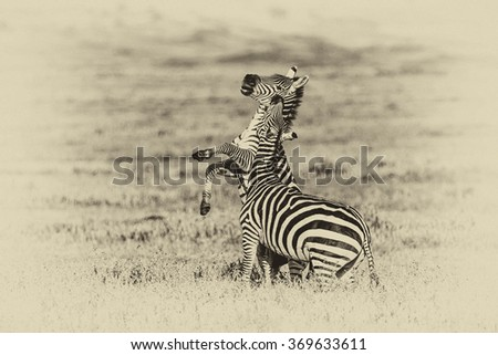 Vintage style image of Zebras in the Ngorongoro Crater, Tanzania - stock photo