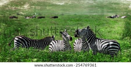 Vintage style image of Zebras in the Ngorongoro National Park, Tanzania - stock photo