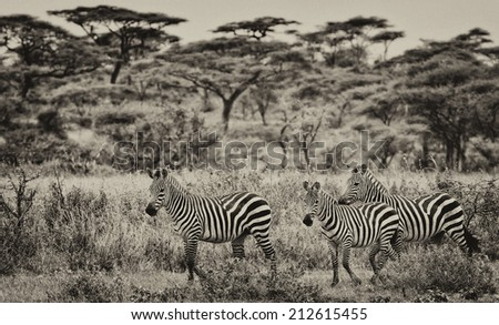 Vintage style image of Zebras in the Serengeti National Park, Tanzania