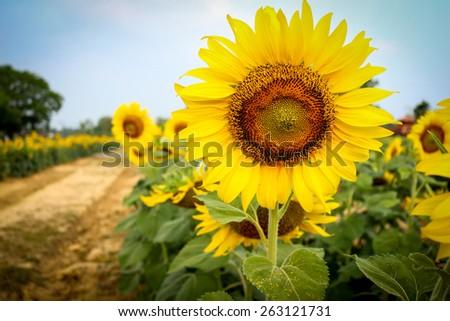 Vintage Style of sunflower garden. - stock photo