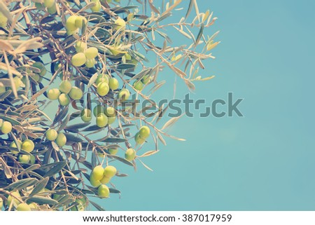 Vintage style photo of olives tree branches with the blue sky. Copy space available  - stock photo