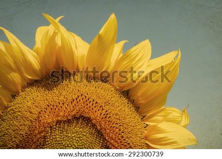 Vintage sunflower field - stock photo