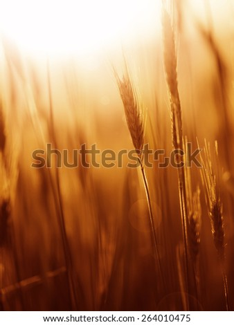 Vintage sunny marsala color blurred barley field with sun flare. Selective focus used. Marsala color used. - stock photo