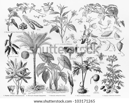 Vintage 19th century drawing representing various species of Food crops, Fruits and seeds - Picture from Meyers Lexikon book (written in German language) published in 1908 Leipzig - Germany. - stock photo