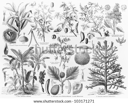 Vintage 19th century drawing representing various species of Oil bearing crops fruits and seeds - Picture from Meyers Lexikon book (written in German language) published in 1908 Leipzig - Germany. - stock photo