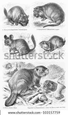 Vintage 19th century drawing representing various wild rodent animals species - Picture from Meyers Lexikon book (written in German language) published in 1908 Leipzig - Germany. - stock photo