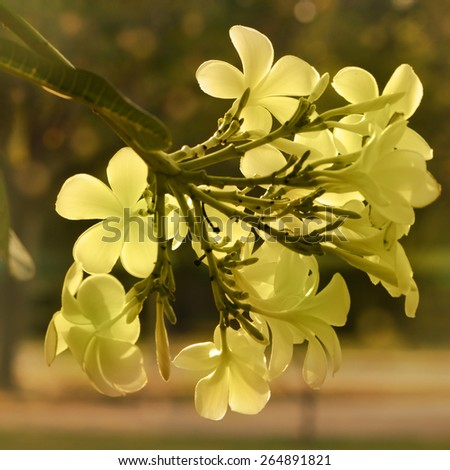 Vintage Tone of Plumeria spp. (frangipani flowers, Frangipani, Pagoda tree or Temple tree) on natural background. - stock photo