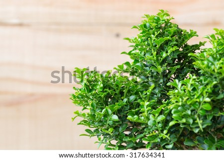 vintage tone of Small decorative tree on wooden background, little green Tree in the pots