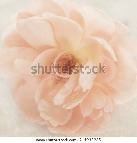 Vintage wedding peach pink garden rose flower on cream retro parchment paper background - stock photo