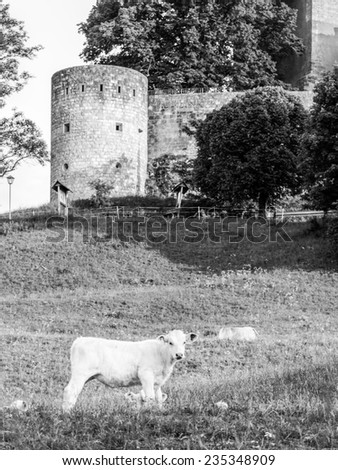 Vintage white cow in front of a medieval castle