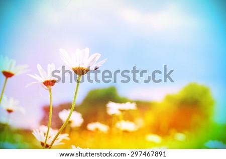 Vintage Wilde Chamomile Flowers. Retro Flowers Background - stock photo
