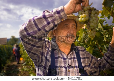 Vintner in french straw examining the grapes during the vintage. - stock photo