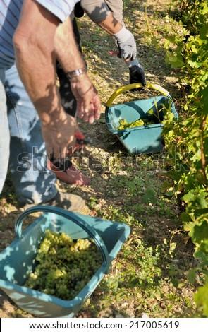 vintners harvesting white grapes in the vineyard - stock photo