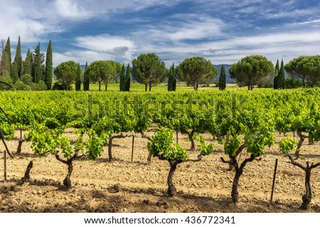 Vinyard in the Luberon Provence