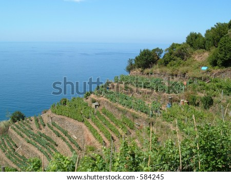 Vinyard on the Mediterranean coast in Italy - stock photo