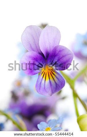 viola close up - stock photo