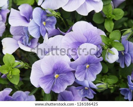 Viola flower field - stock photo
