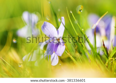 Viola odorata - beautiful grass background with dew drops