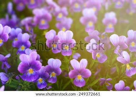 Viola or pansy flowers in a garden. Natural background - stock photo
