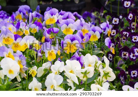 Viola tricolor pansy, flower bed bloom in the garden. - stock photo