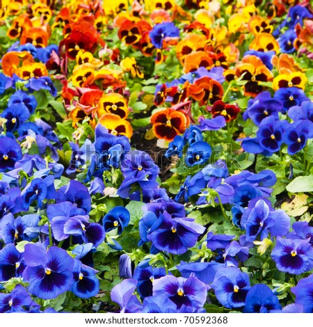viola tricolor pansy, flowerbed - stock photo