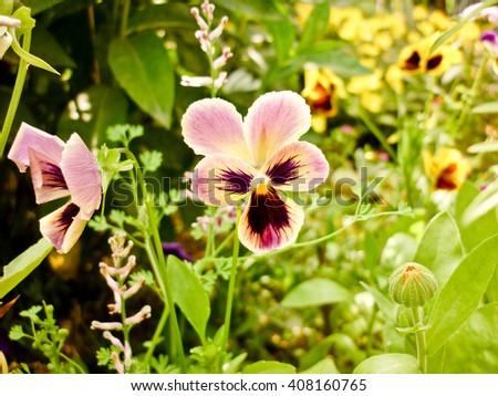 Viola tricolor, pansy, grass Meadow, summer in garden - stock photo