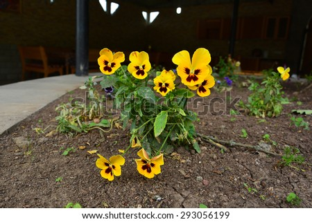 Viola tricolor (Wild pansy) blooming in the garden - stock photo