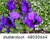 Viola with raindrops - stock photo