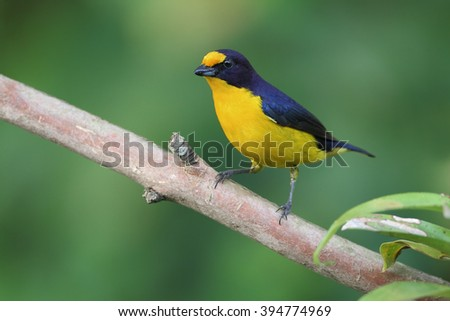 Violaceous Euphonia (Euphonia violacea) male on branch in garden, Itanhaem, Brazil
