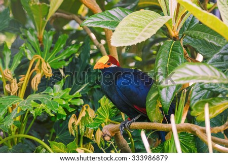 Violaceous Plantain Eater (Musophaga violacea) among of Different Kinds of Plants - stock photo