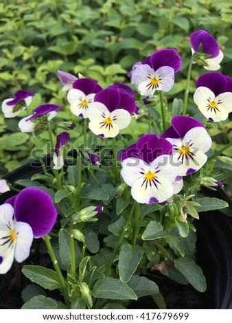 Violas growing in a pot with purple and white blooms.