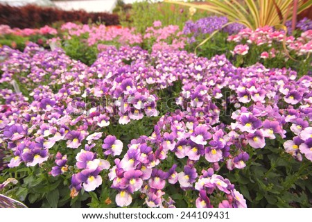 Violet and pink nemesia flowers close up  - stock photo