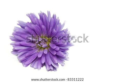 Violet Aster Flower, shot with large DOF - stock photo