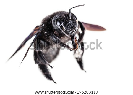 Violet carpenter bee species xylocopa violacea in high definition isolated over white - stock photo