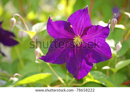Violet clematis - stock photo