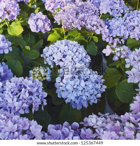 violet colored Hortensia flowers, natural background
