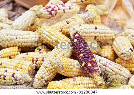 Violet corn is food for  asia people - stock photo