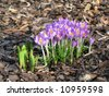 violet crocus on bark background - stock photo