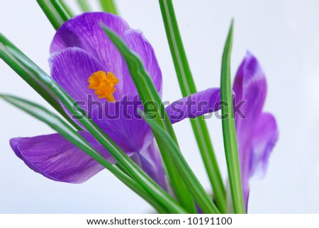 Violet crocus on pastel background