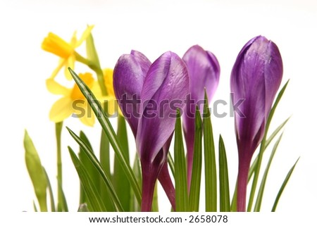 violet crocuses and yellow daffodils isolated on white