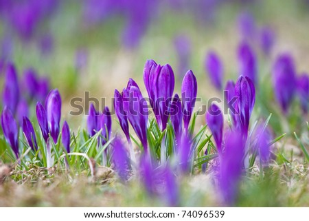 Violet crocuses growing happily in the grass - stock photo