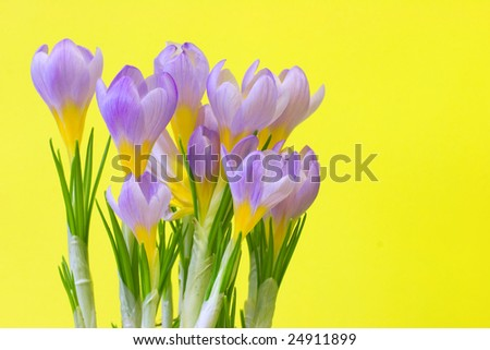 Violet crocuses over the yellow background