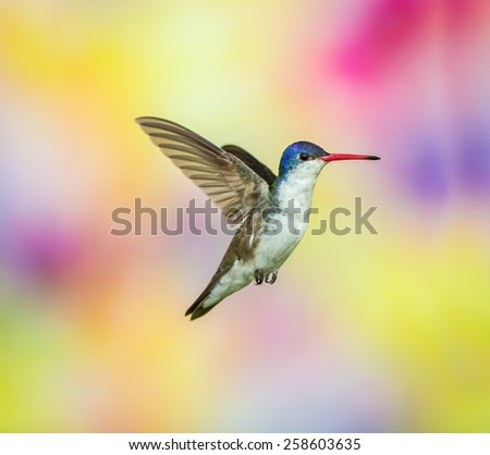 Violet Crowned Hummingbird. - stock photo